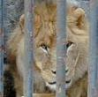 petit_lion
